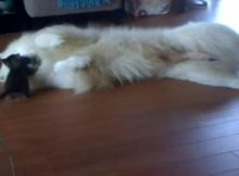 kitten and dog samoyed playing