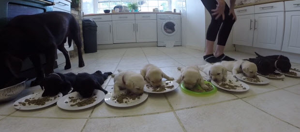 labrador-puppies-first-real-food-3