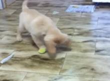 playful golden retriever pup