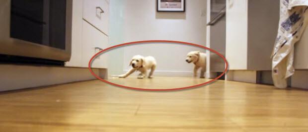 puppies-labrador-running-to-eat