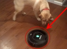 roomba-vs-labrador-retriever-dogs