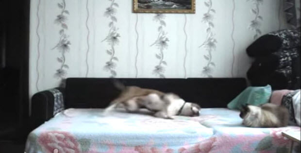 russian dog on bed