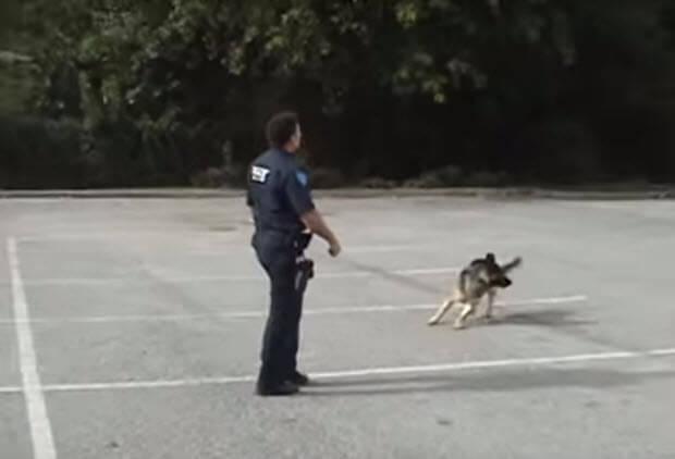smartest-german-shepherd-dog