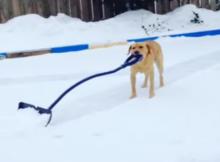 snow plowing dog