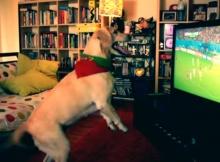 white labrador dog watches soccer