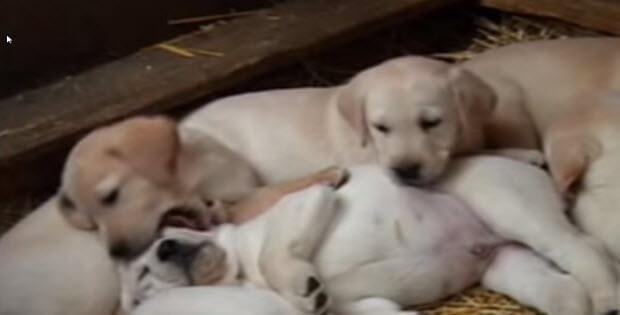 cute-labrador-puppies2