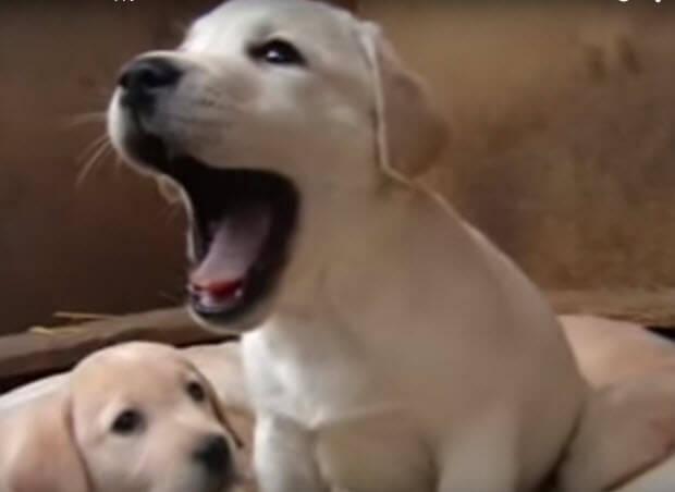 cute-labrador-puppies7-462