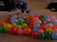dog popping balloons