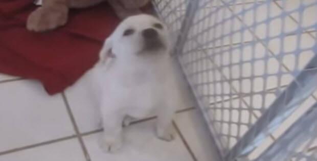 funny-labradors-video3