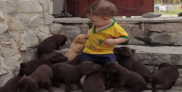 labrador-puppies-3