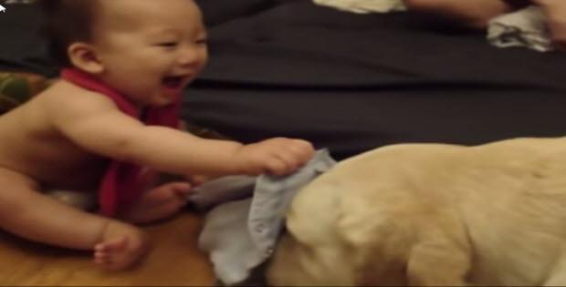 labrador-puppies7