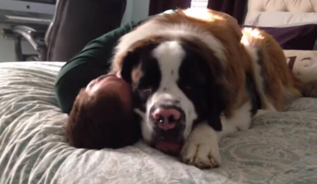 saint-bernard-pinned-owner-to-bed