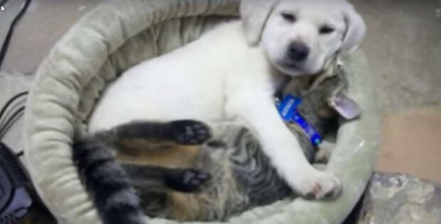 yellow-lab-puppy-and-kitten3