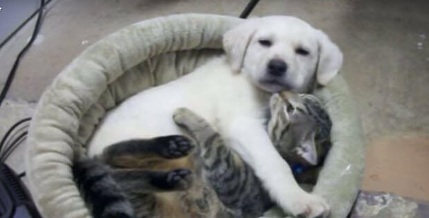 yellow-lab-puppy-and-kitten4