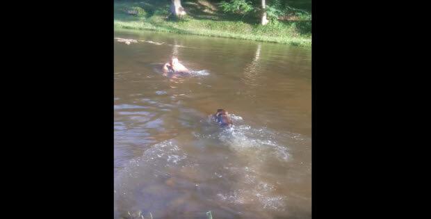 black-choc-labradors-swiming2