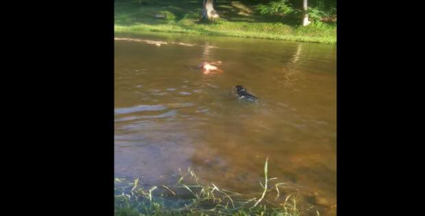 black-choc-labradors-swiming3