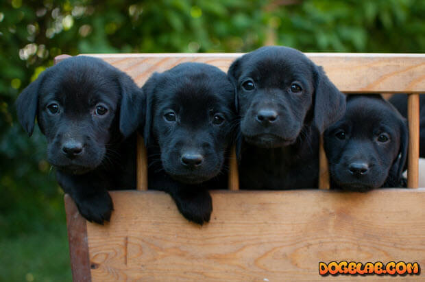 four-black-labrador-puppies-on-cart