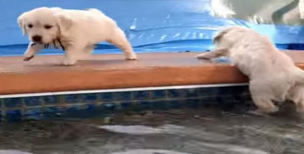 golden-retriever-puppies-first-swim2