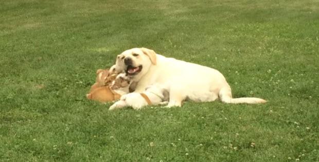 labrador-playing-english-bull-dog-puppies2