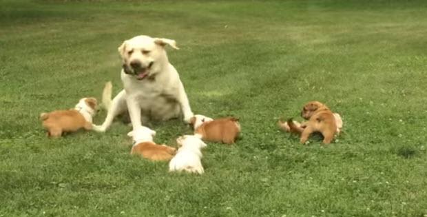 labrador-playing-english-bull-dog-puppies3