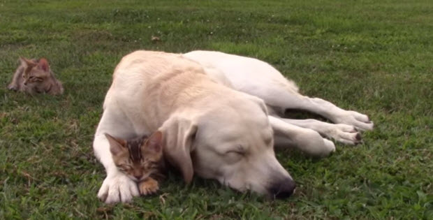labrador-playing-with-kittens3