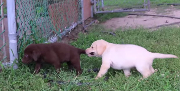 yellow black and brown labrador puppies playing