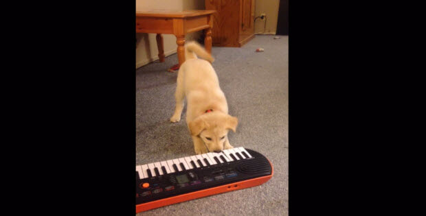 puppy-playing-piano1