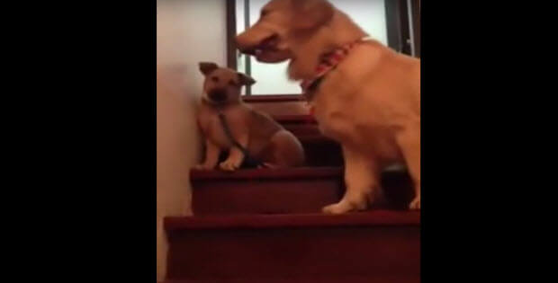 puppy-stairs-dog-mother-teaches1