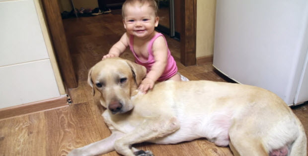 yellow-lab-playing-with-baby1