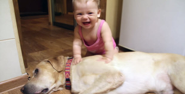yellow-lab-playing-with-baby3