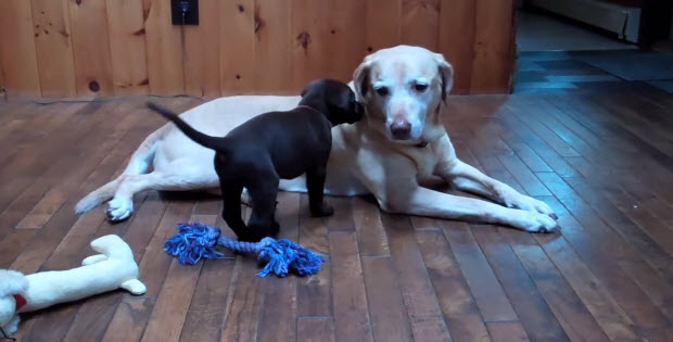 big-labrador-meet-small-labrador3