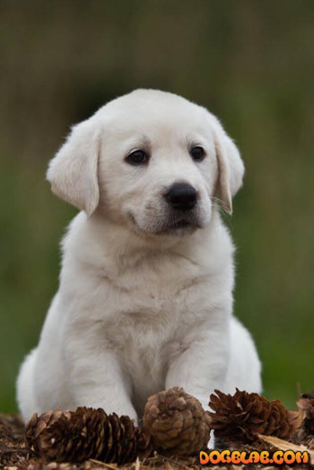 beautiful-yellow-labrador