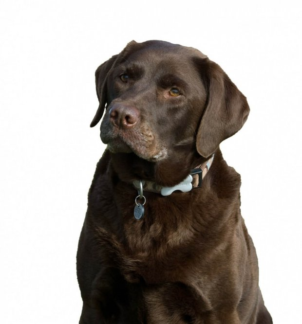 Choc Labrador Retriever Dog