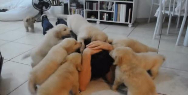 golden-retriever-puppies-attack1