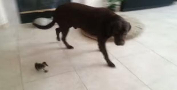 labrador-retriever-and-cute-duck1