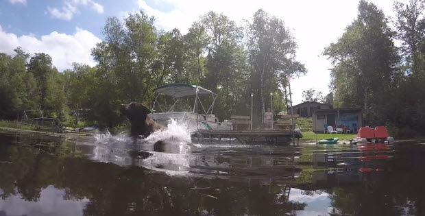 labradors-jumping-in-the-water2