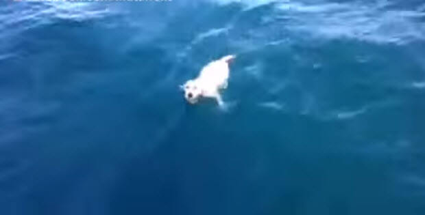 off-shore-labrador-dog-rescue3