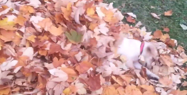 puppy-playing-with-autumn-leaves1