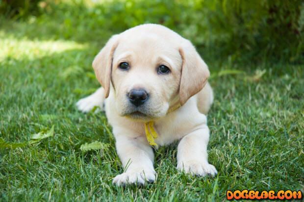 yellow-lab-puppy-on-grass