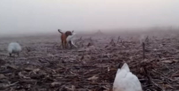 labrador-hunting-dog1