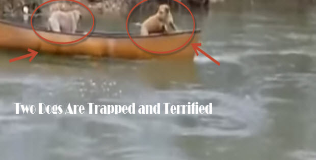 labrador-retriever-saves-two-dogs2
