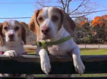 BEAGLES-PLAYING-WITH-LEAVES