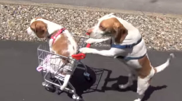 beagle dogs travel