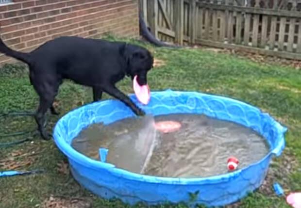 black-labrador-frozen-pool