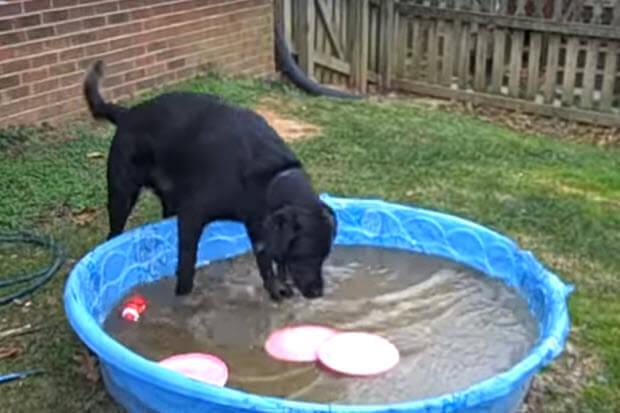 black-labrador-frozen-pool4