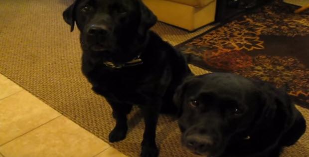 black-labrador-retrievers-rat-each-other-out3