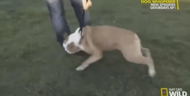 cesar-milan-rehabilitating-aggressive-bulldog3