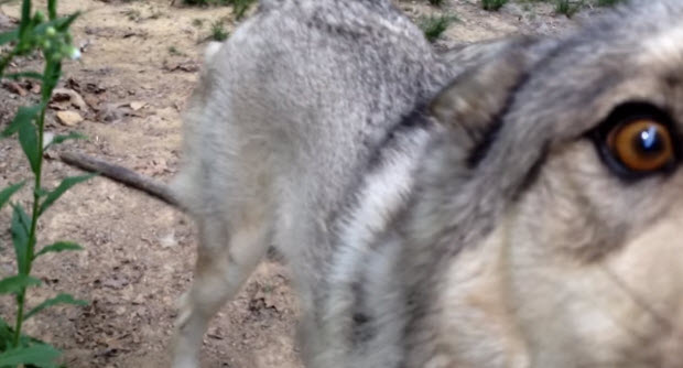 german shepherd puppy-playing with wolf
