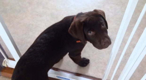 guilty-labrador-puppy`