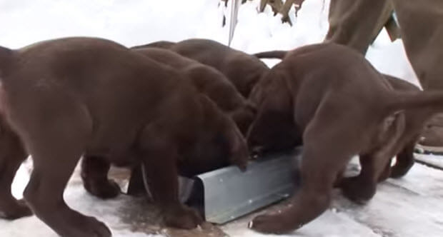 labrador puppies playing in snow